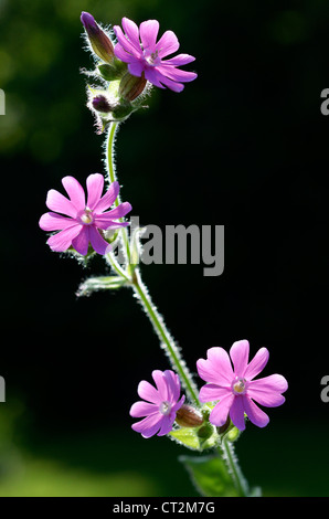 Red Campion, silene dioica, backlit flowers in a woodland glade, Norfolk, UK, May - Stock Photo