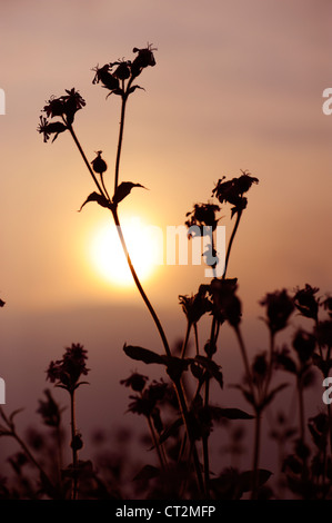 Red Campion, silene dioica, flower spike silhouetted at dusk , Norfolk, UK, May - Stock Photo