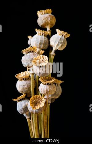 Papaver somniferum, Poppy, Opium poppy - Stock Photo
