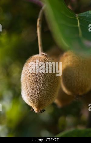 Actinidia chinensis, Kiwi - Stock Photo