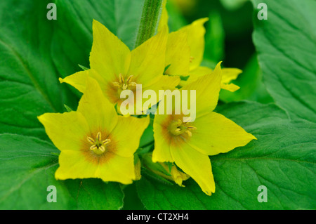 Common Yellow Garden Flowers yellow loosestrife stock photo, royalty free image: 62815152 - alamy