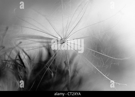 Cirsium vulgare, Thistle, Spear thistle, Scotch thistle, Bull thistle - Stock Photo