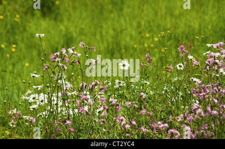 Silene dioica, Campion, red - Stock Photo