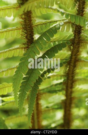 Dryopteris wallichiana, Fern, Wallich's wood fern, close up detail of green fronds. - Stock Photo
