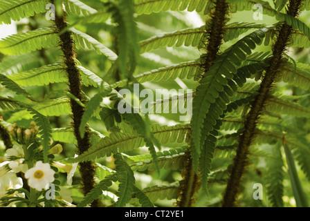 Dryopteris wallichiana, Fern, Wallich's wood fern - Stock Photo