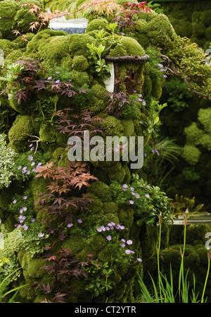 Acer Palmatum 'Atropurpureum', Japanese maple - Stock Photo