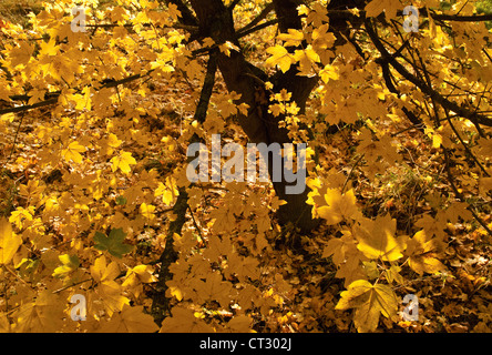 Acer campestre, Field maple - Stock Photo