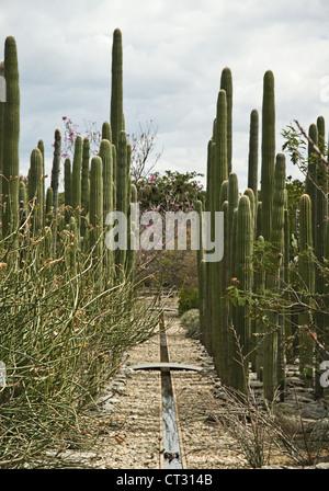 Carnegiea gigantea, Cactus, Saguaro cactus - Stock Photo