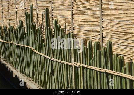 Pachycereus Marginatus, Cactus, mexican fence post cactus - Stock Photo