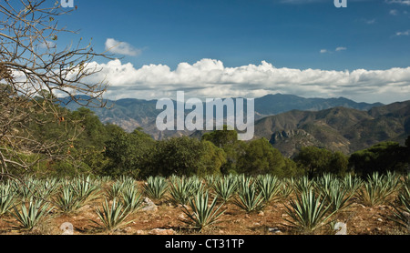 Agave tequilana, Blue agave used in the production of tequila growing in the hills of Oaxaca, Mexico. - Stock Photo