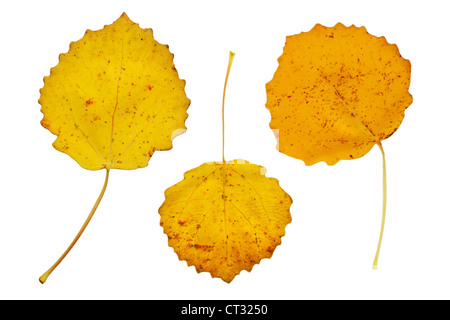 Three yellow autumn leaves of the aspen tree - Stock Photo