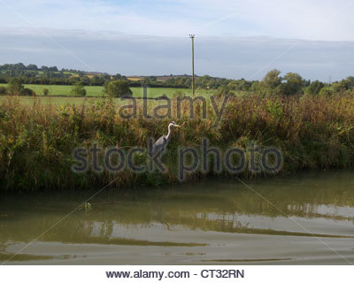 Heron on the banks of a canal in the autumn near Bradford-on-Avon, England - Stock Photo