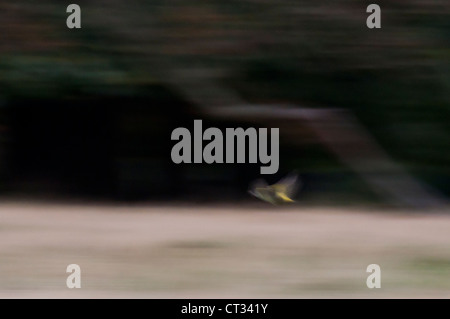 Green Woodpecker (Picus viridis) in flight - Stock Photo