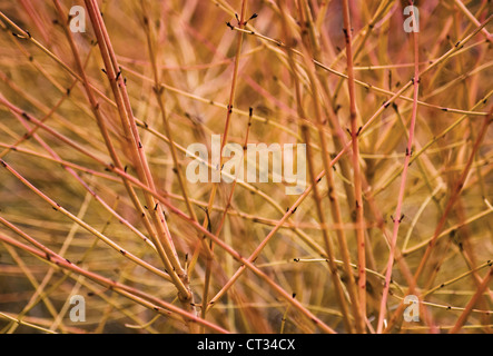 Cornus sanguinea 'Midwinter fire', Dogwood, Close up of red leafless stems on the shrub. - Stock Photo