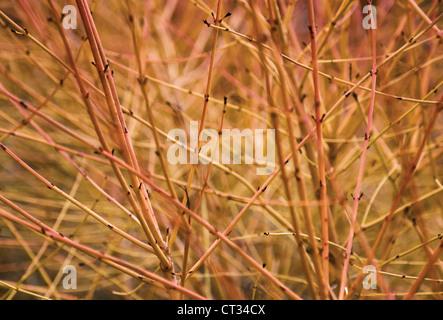 Cornus sanguinea 'Midwinter fire', Dogwood, Close up of red leafless stems on the shrub. - Stock Photo