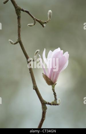 Magnolia kobus, Magnolia - Stock Photo