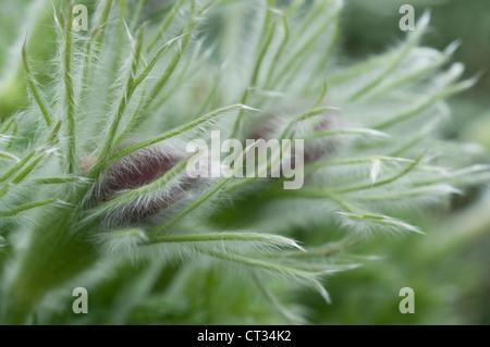 Pulsatilla alpina, Pasque flower - Stock Photo