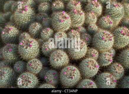 Mammillaria bombycina, Cactus, Pincushion cactus - Stock Photo