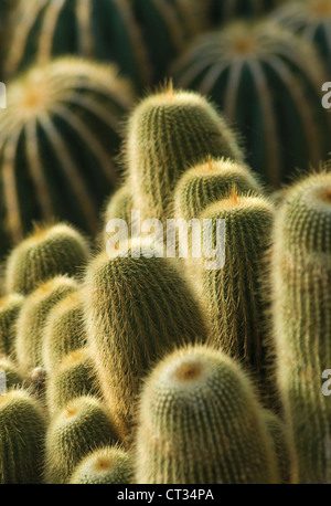 Parodia leninghausii, Yellow tower cactus, massed upright succulent plants. - Stock Photo