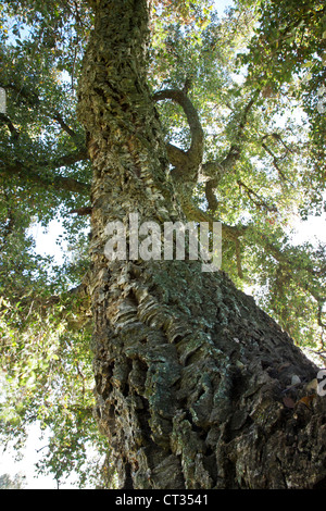 Cork Oak tree, springtime, looking upward. - Stock Photo