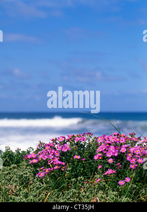 Aster - Stock Photo