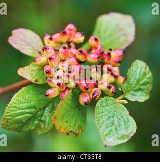Viburnum lantana, Wayfaring tree - Stock Photo