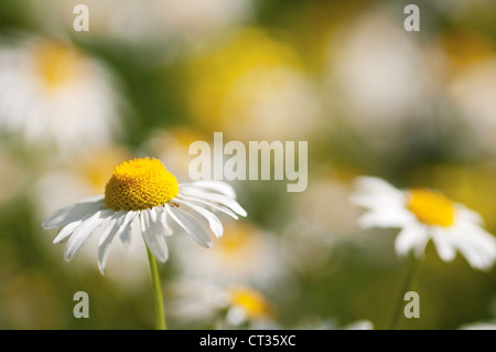 Leucanthemum vulgare, Daisy, Ox-eye daisy Stock Photo