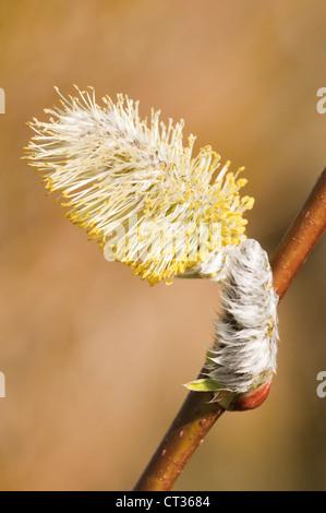 Salix viminalis, Osier - Stock Photo