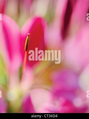 Cleome hassleriana, Spider flower, Cleome - Stock Photo