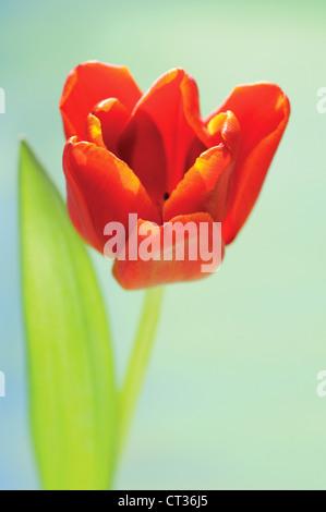 Tulipa, Tulip - Stock Photo