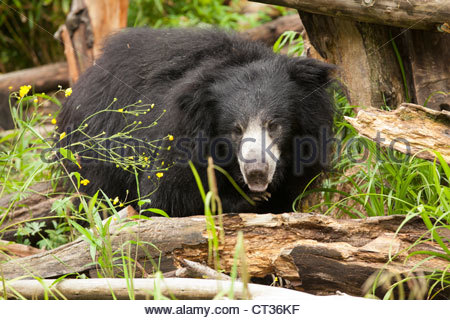 Sloth Bear, Woodland Park Zoo, Seattle - Stock Photo