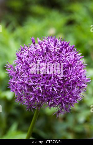 Allium 'Globemaster' in an English garden. - Stock Photo