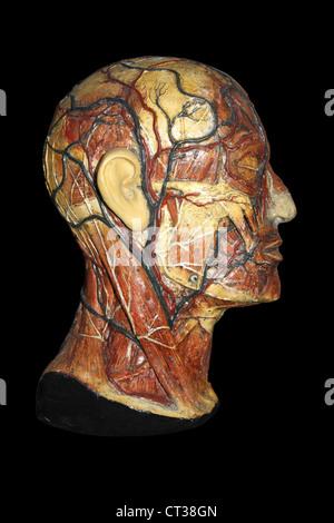 Anatomical Model Of Human Head Stock Photo 144207600 Alamy