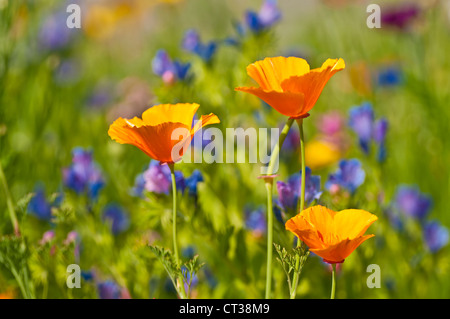 Californian poppy - Stock Photo