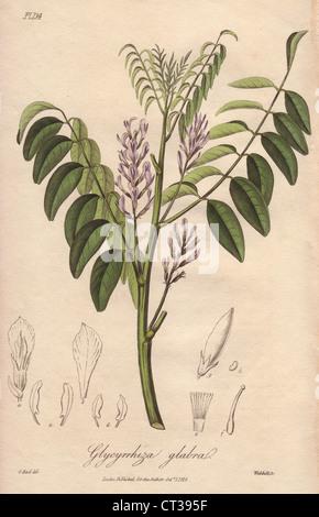 Liquorice, Glycyrrhiza glabra. - Stock Photo