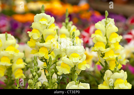 Yellow antirrhinum snapdragon flowers in garden bedding, Wales, UK - Stock Photo