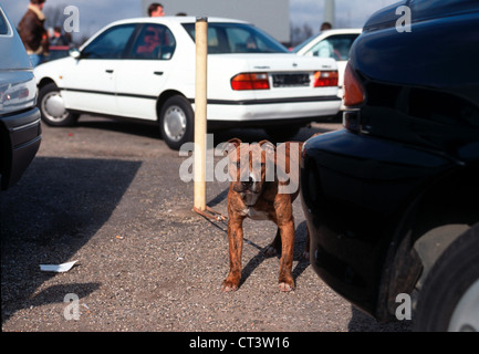 Fighting Dog, Private Car Market in Essen-Bergeborbeck - Stock Photo