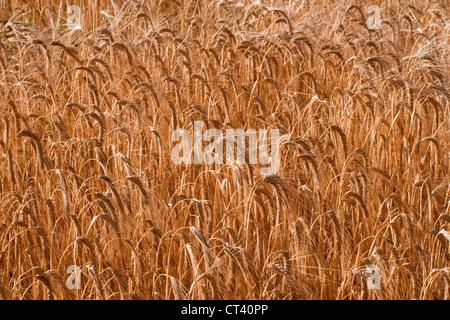 Barley (Hordeum vulgare). Standing crop nearly ready for harvesting. Norfolk. - Stock Photo