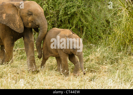 Young elephant pushing baby sister, Samburu, Kenya - Stock Photo