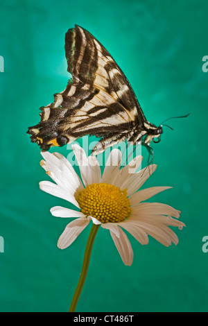 A black swallowtail butterfly about to land on a white daisy - Stock Photo