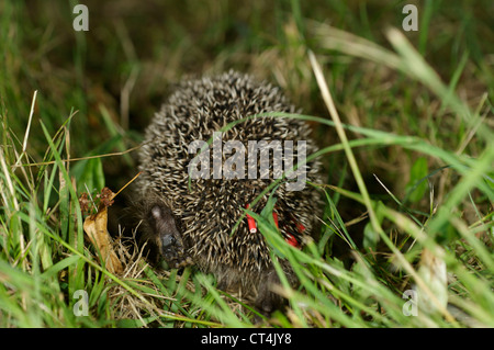 WESTERN EUROPEAN HEDGEHOG - Stock Photo