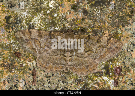 Mottled Beauty (Alcis repandata) resting on a lichen covered rock - Stock Photo