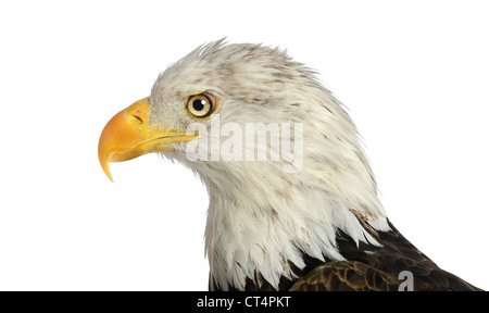 Head of bald eagle in profile view isolated over white background - Stock Photo