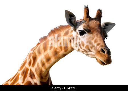 Profile portrait of giraffe (Giraffa camelopardalis) isolated on white background - Stock Photo