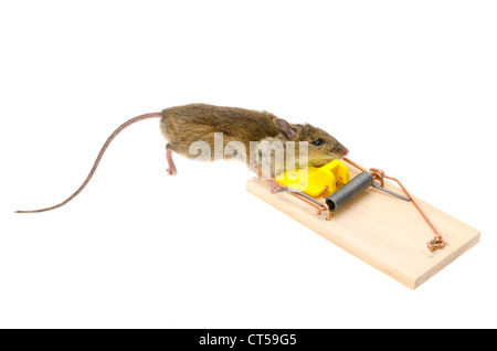 A house mouse (Mus Musculus) with its head caught in a mousetrap - studio shot with a white background - Stock Photo