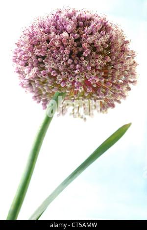 LEEK FLOWER - Stock Photo