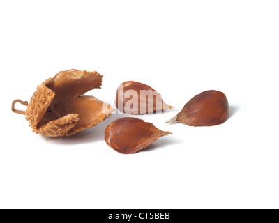 Nuts of common beach tree isolated on white background - Stock Photo