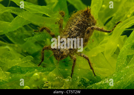 The nymph of a broad-bodied chaser dragonfly (Libellula depressa) climbing over pond weed. - Stock Photo