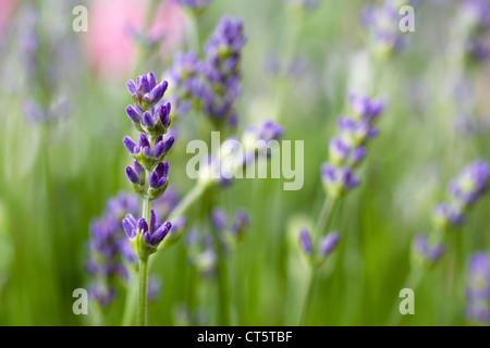 Lavender in an English garden. Lavandula flowers. - Stock Photo