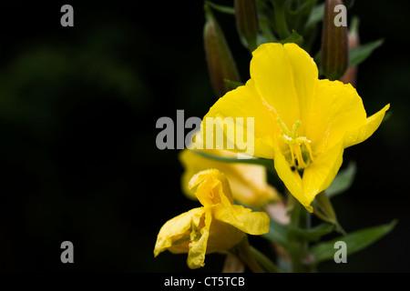 Oenothera in the garden against a dark background. Evening primrose flower. - Stock Photo